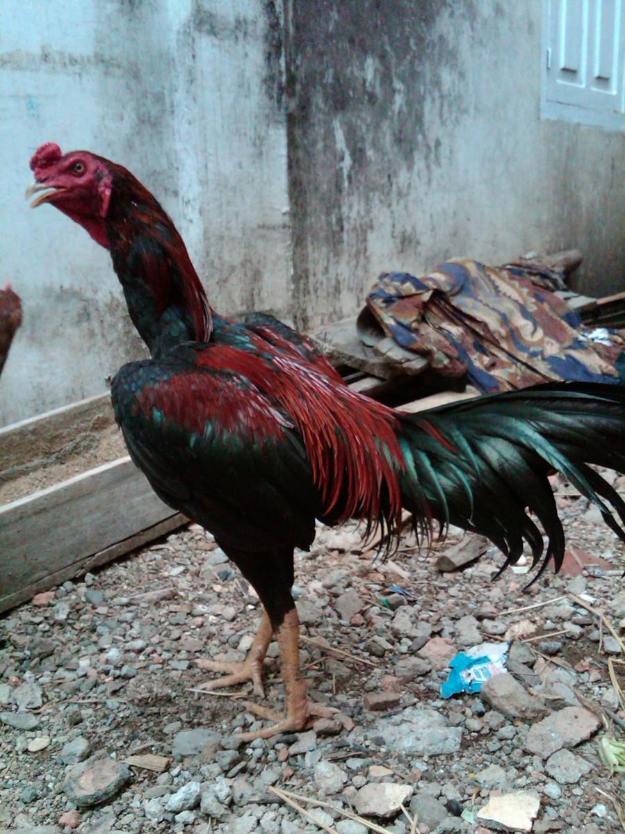 Jurus-Jurus Ayam Petarung