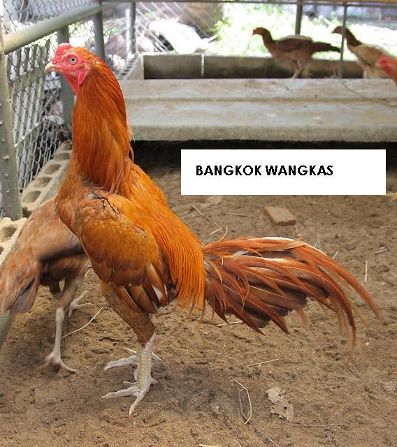 ayam wangkas